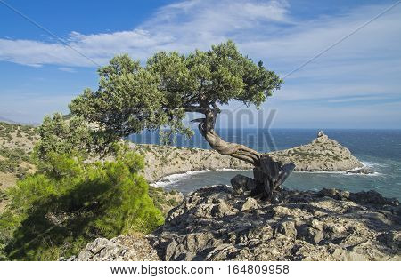 Relict juniper tree on a cliff above the sea. Crimea September.
