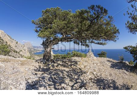 Relict juniper tree on a mountain top. Crimea sunny day in September.