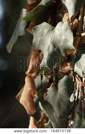 contrast of green and brown hedera leaves as symbol of life and death poster