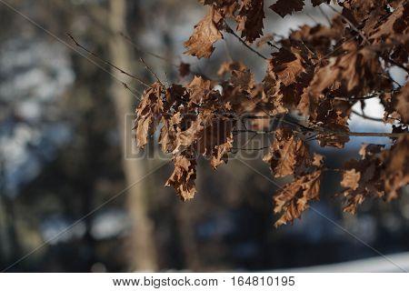 Brown sapless leaves of an oak tree in winter woods
