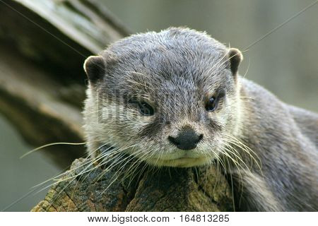 one beautyfull european  Otter looks in the cam