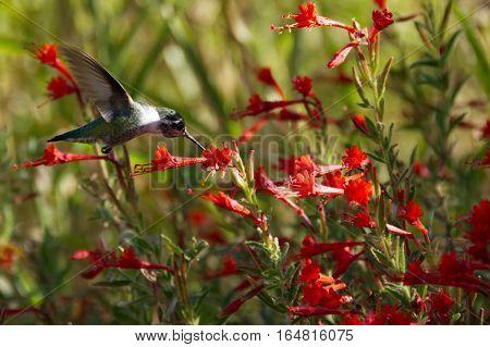 Anna's Hummingbird feeding in a field of red California Fuschia.