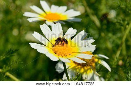 Small bee on beautiful daisy in full splendor