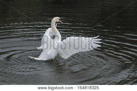 White Swan with open wings ready to fly on water surface and creating ripples