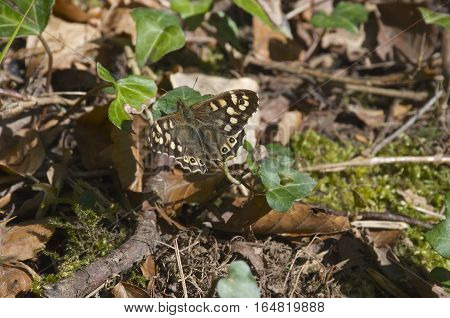 Brown Butterfly with yellow speckles sat on a branch on the forest floor