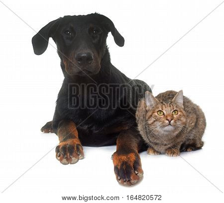young beauceron and cat in front of white background