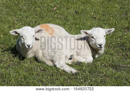 Two cute lambs sitting/ laying on the grass in a meadow