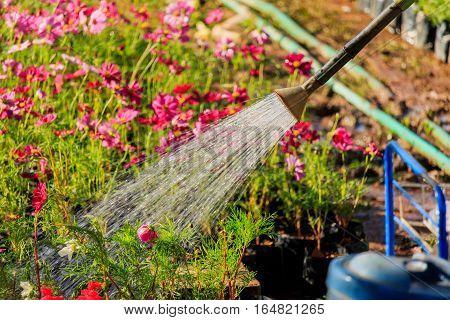 watering fresh flowers in garden thailand  .
