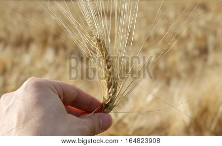 Hand Of Farmer Holding The Yellow Ripe Ear