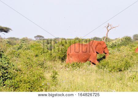 Red elephant in the brushwood of Tsavo East Park in Kenya