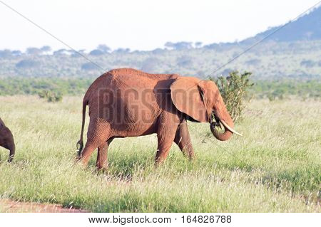 Red elephant grazing in the savanna of East Tsavo Park in Kenya