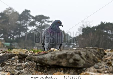 Grey Pidgeon/ Pidgin sat on a wall with trees in the background.