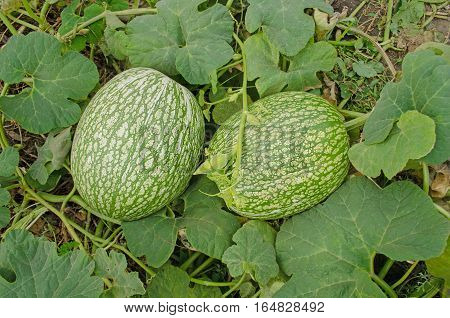 Asian fresh pumpkin. Fig leaf gourd. Cucurbita pumpkin squash foliage