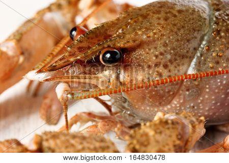 Crayfish cray fish close up macro shot