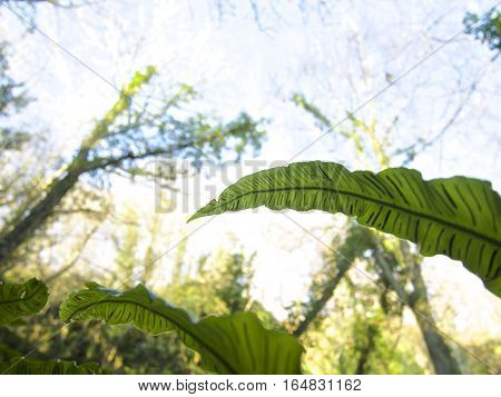 Bird's nest fern leaf with Forrest and summer blue sky background