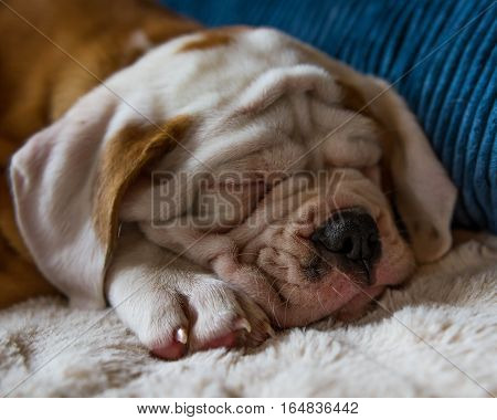 Very wrinkled bulldog puppy face, while she is sleeping.