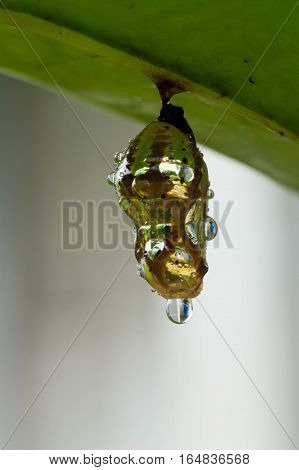 The butterfly in shiny golden pupa with water drop; Chrysalis
