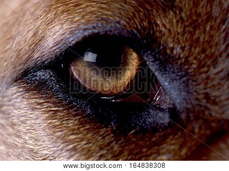 rhodesian ridgeback dog eye closeup in studio