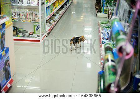 Kiev Ukraine - Dec 28 2016: puppy walks by the pet store itself Kiev Ukraine - Dec 28 2016