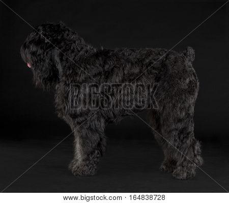 Black Russian Terrier sideways portrait in studio
