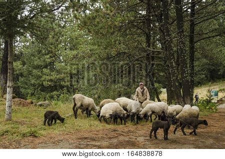EL CONEJO, PEROTE, VERACRUZ, MEXICO - DECEMBER 11, 2016: Shepherd with his sheep on pasture in the woods at the ecological reserve El Conejo