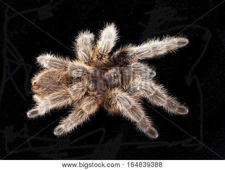 tarantula texture from above in studio with black background