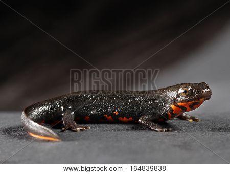 Orange and black triton salamander in studio
