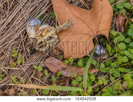 Skeletal remains of a dead fish laying in the grass next to a brown leaf