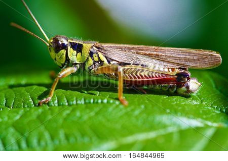 Up close of grasshopper on bright green leaf