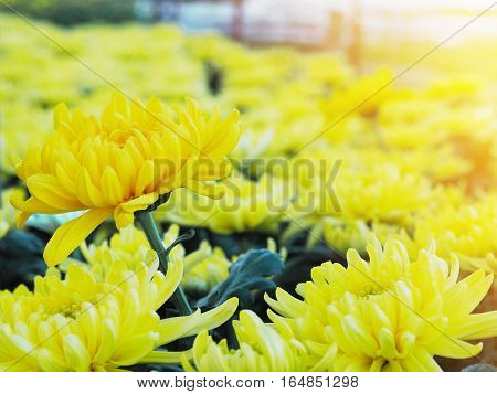 Row of yellow Chrysanthemum flowers in a greenhouse