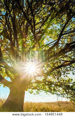 Summer landscape with beautiful tree oak and tree branches in sunlight