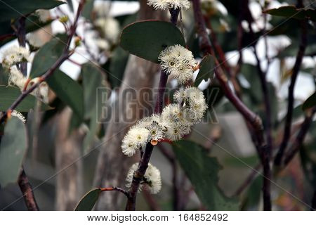 Cluster of white gumtree (Angophora hispida) flowers in the High Country Victoria Australia. Close up eucalyptus flower.