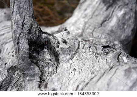 Burnt wood texture background. An old wood surface. Burnt tree trunk wallpaper. Black and white background of burnt wood.
