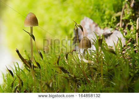 Two small lamellar Mushrooms on a green moss in a lite forest, soft focus
