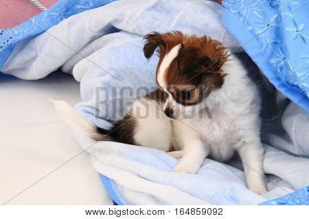 Small Chihuahua Puppy Is Resting