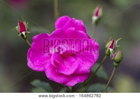 Flower of pink Rosa rugosa with buds in the garden.