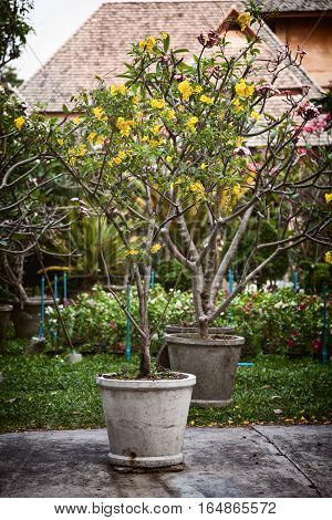 Potted ornamental trees with yellow and pink flowers in a garden. Blooming plants in the back yard - Tabebuia and Plumeria