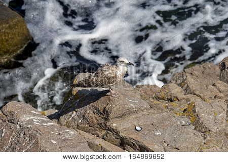 Seagull on the dirty sea at coast in Bulgaria