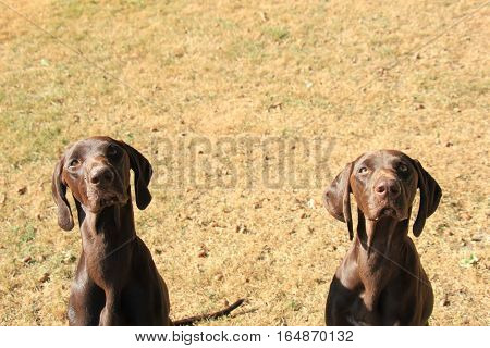 German Shorthaired Pointer sisters 13 months old