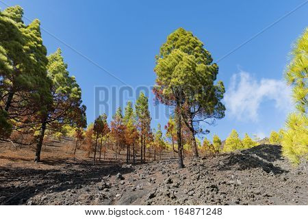 """Shot of the famous trekking path """"Ruta de los vulcanos"""" taken in the south of la Palma nearby Los Canarios. Pine trees shine in wonderful fall colors."""