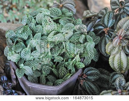 Closeup top view on fittonia verschaffeltii white star. Also know as nerve plant