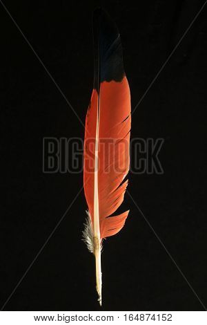 Feather of eudocimus ruber scarlet ibis isolated on black