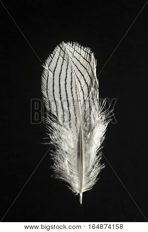 Feather of Silver pheasant Lophura nycthemera isolated on black