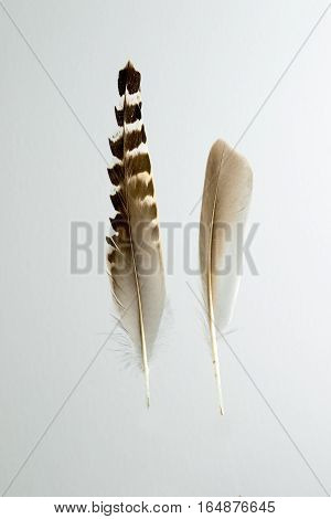 Two feathers of Ruff bird Philomachus pugnax isolated on white
