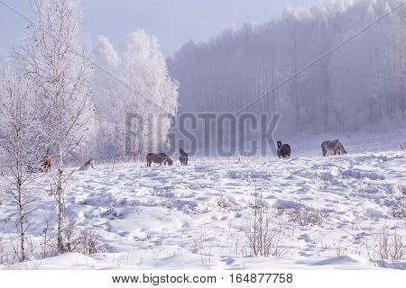 Horses stay and relax on snowy forest in the woods in winter