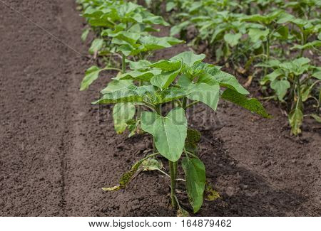 Large field of young green not blooming sunflower growing in a farm. Growing rural economic crops.