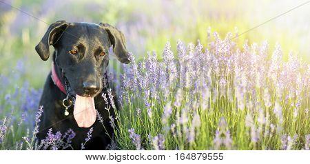 Website banner of a happy Labrador retriever dog with Lavender flowers
