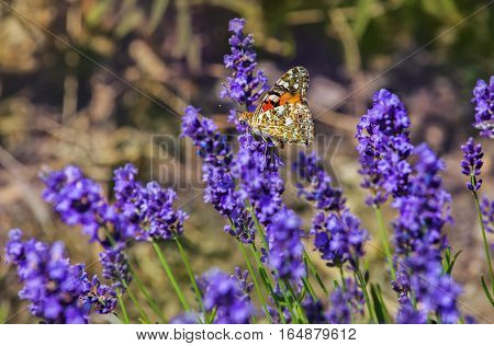 Flowering bush purple lavender scented lit by the sun in the summer in the garden where the beautiful butterfly sits.