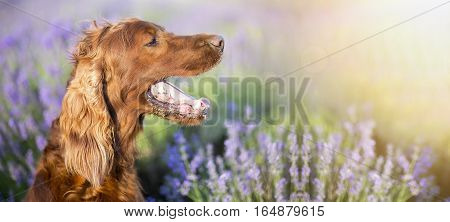 Website banner of an panting Irish Setter dog in a lavender field
