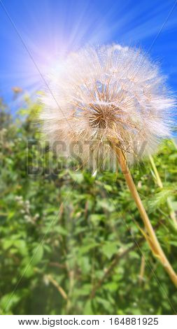 Dandelion in spring in front of a a deep blue sky with sunrays